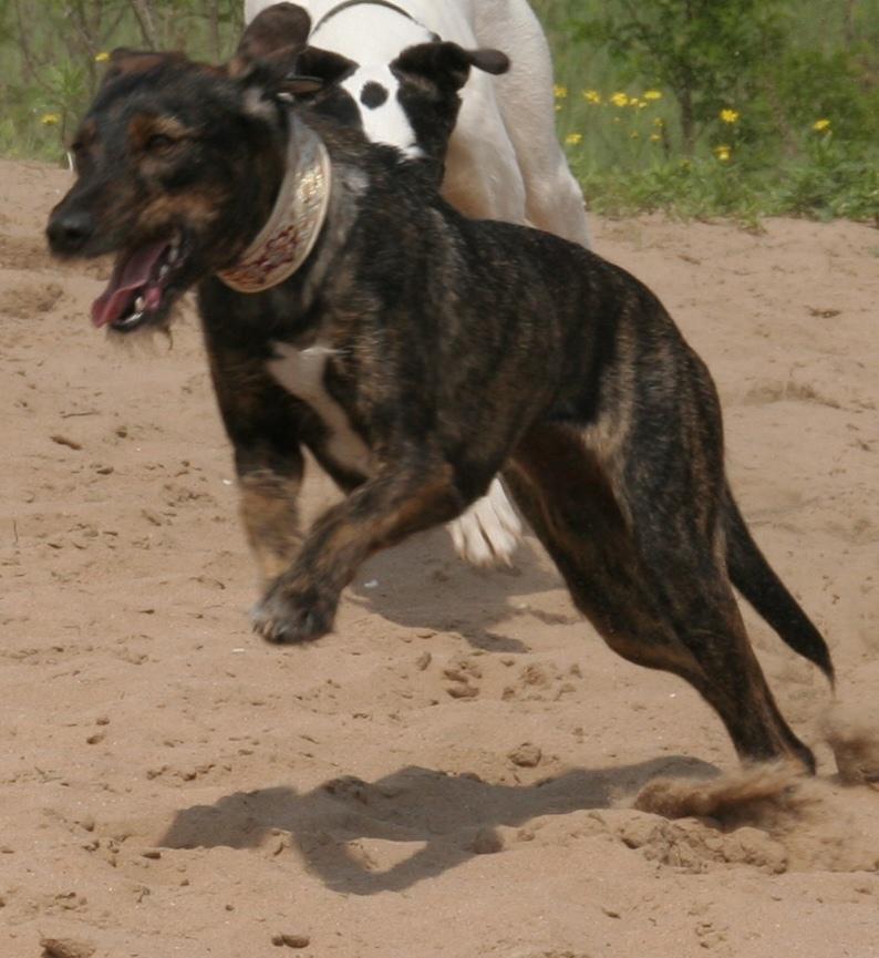 Fee vor einiger Zeit im Laufmodus mit einem anderen Windhund. Danke Alfi fürs Foto
