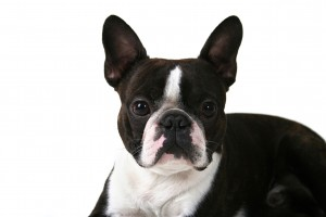 a boston terrier on a white background