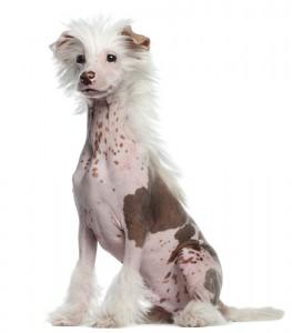 chinese hund
